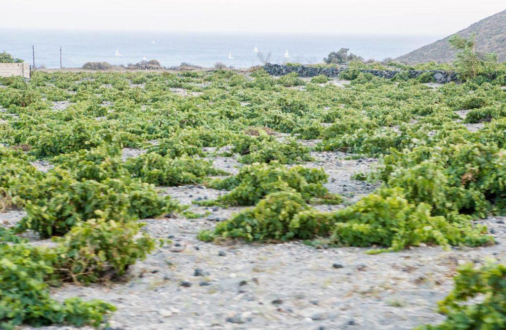 Pés de uva espalhados por toda a ilha de Santorini